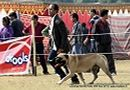 Lucknow Dog Show 2012 | bull mastiff,ex-141,sw-71,