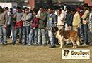Ludhiana Dog Show 2008   stbernard,