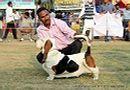 Ludhiana Dog Show 2012 | basset hound,sw-66,