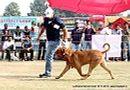Ludhiana Dog Show 2012 | dogue de bordeaux,sw-66,