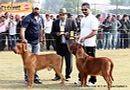 Ludhiana Dog Show 2012 | dogue de bordeaux,judges,sw-66,