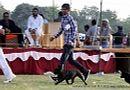 Ludhiana Dog Show 2012 | ex-79,french bull dog,sw-66,