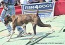 Nagpur Dog Show   boxer,