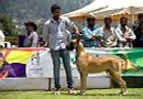 Ooty Specialities & All Breed Dog Show | great dane,great dane speciality,