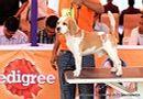 Orissa Dog Show | beagle,ex-43,sw-68,