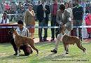 Patiala Dog Show 2013 | boxer,ex-122,sw-80,