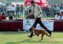 Patiala Dog Show 2013 | boxer,ex-121,sw-80,