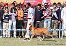Patiala Dog Show 2013 | boxer,ex-119,sw-80,