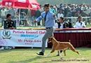 Patiala Dog Show 2013 | boxer,sw-80,