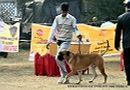Rohilkhand Dog Show | bull mastiff,sw-74,