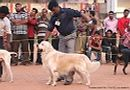Trivandrum Dog Show 14th Oct 2012 | ex-89,golden retriever,sw-59,