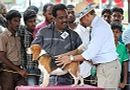 Trivandrum Dog Show 14th Oct 2012 | beagle,ex-55,sw-59,