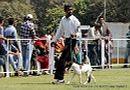Vadodara Dog Show | ex-26,fox terrier,sw-83,