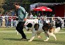 Vadodara Dog Show | ex-129,stbernard,sw-83,