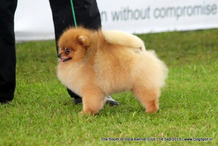 pomeranian,sw-90,, 112th & 113th Ooty Dog Show, DogSpot.in