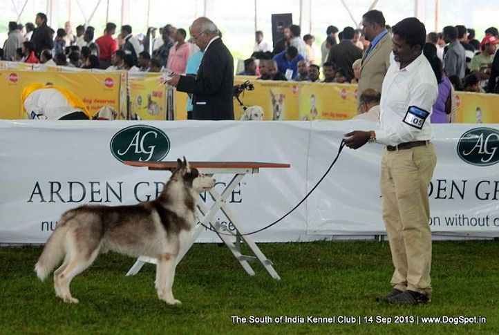 ex-405,siberian husky,sw-90,, 112th & 113th Ooty Dog Show, DogSpot.in