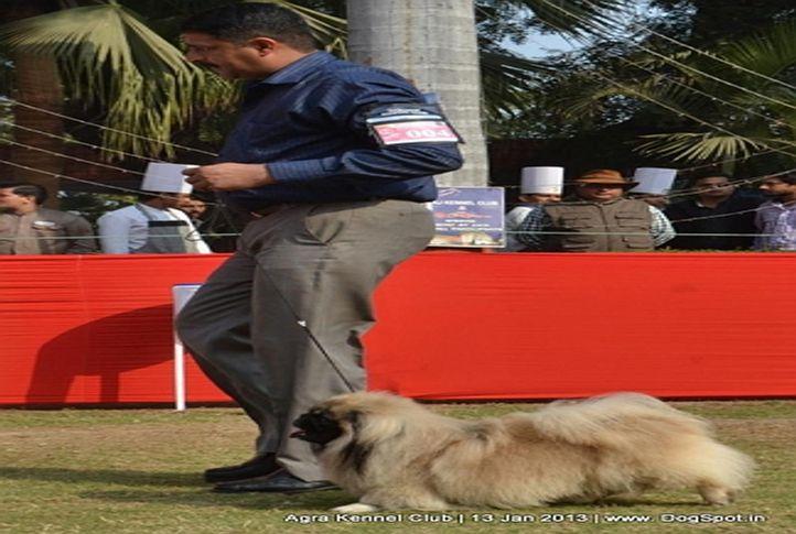 ex-4,pekingese,sw-78,, CHARLIE, Pekingese, DogSpot.in