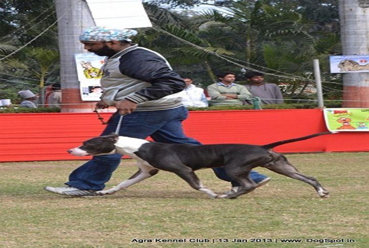 ex-84,pit bull terrier,sw-78,, ZACK OF SHAKSHI, American Staffordshire Terrier, DogSpot.in