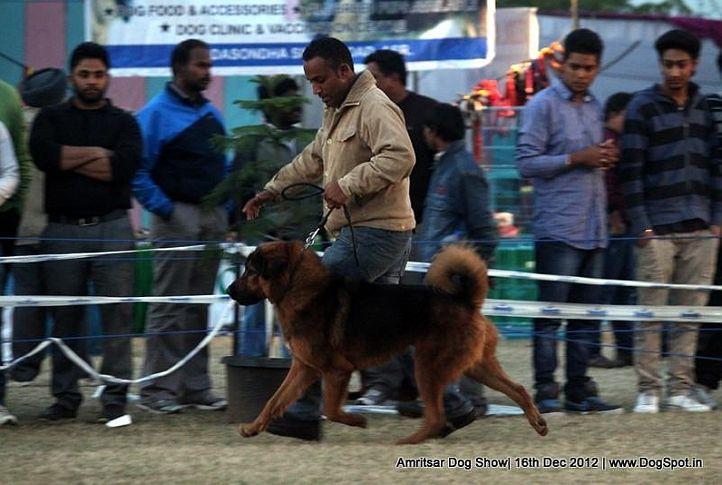 sw-65,tibetan mastiff,, Amritsar Dog Show 2012, DogSpot.in