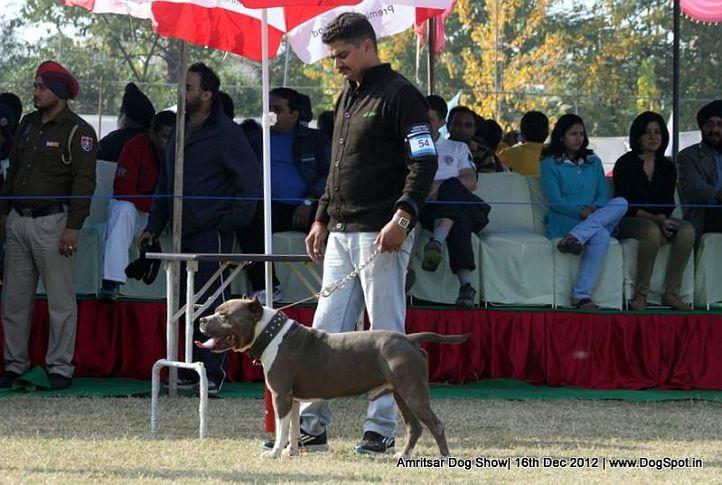 ex-54,staffordshire bull terrier,sw-65,, RICO, Staffordshire Bull Terrier, DogSpot.in