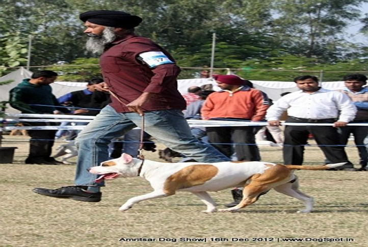 ex-57,staffordshire bull terrier,sw-65,, MILLI, Staffordshire Bull Terrier, DogSpot.in