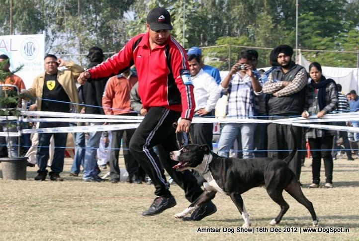 ex-53,staffordshire bull terrier,sw-65,, HASHMEET'S AJZGAR, Staffordshire Bull Terrier, DogSpot.in