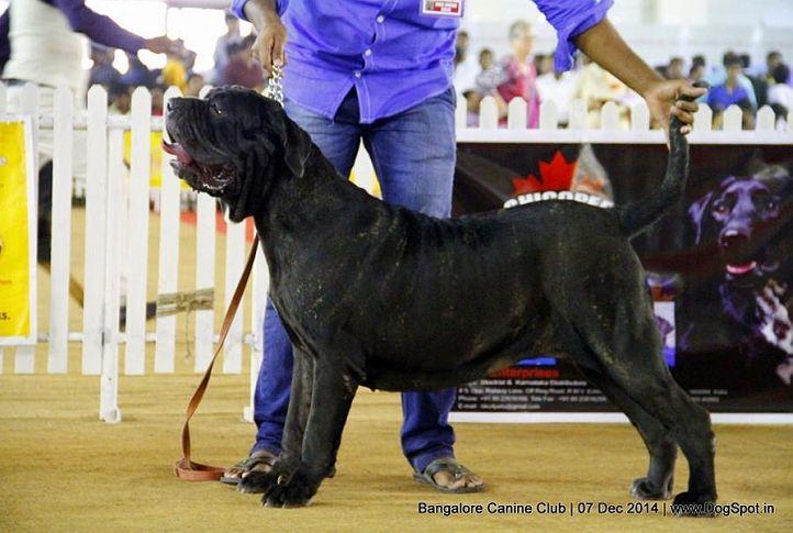 neapolitan mastiff,sw-138,, Bangalore Canine Club 2014, DogSpot.in
