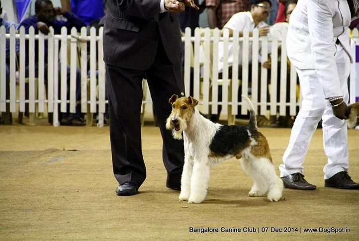 ex-25,fox terrier wired,sw-138,, Bangalore Canine Club 2014, DogSpot.in