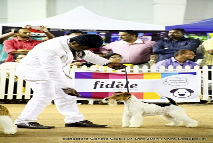 ex-24,fox terrier wired,sw-138,, Bangalore Canine Club 2014, DogSpot.in