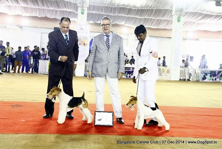 bob,fox terrier wired,rbob,sw-138,, Bangalore Canine Club 2014, DogSpot.in
