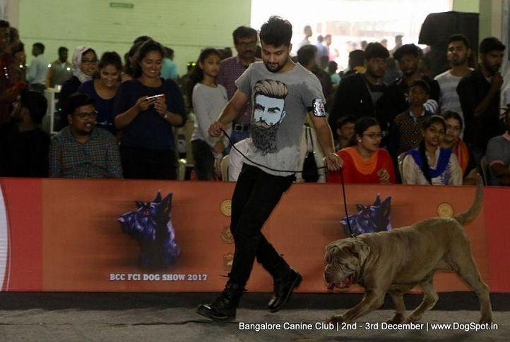 neapolitan mastiff,sw-202,, Bangalore Dog Show 2017, DogSpot.in
