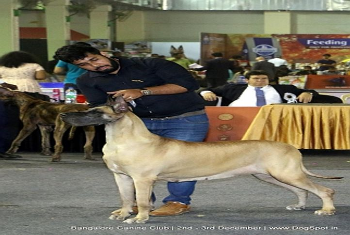 great dane,sw-202,, Bangalore Dog Show 2017, DogSpot.in