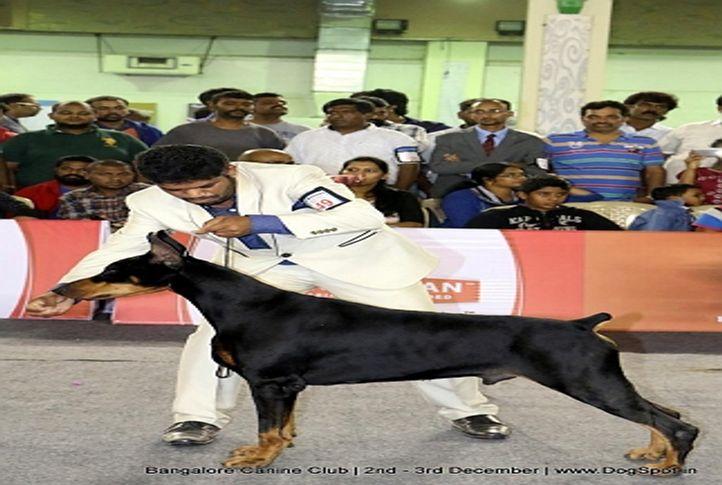 doberman pinscher,sw-202,, Bangalore Dog Show 2017, DogSpot.in