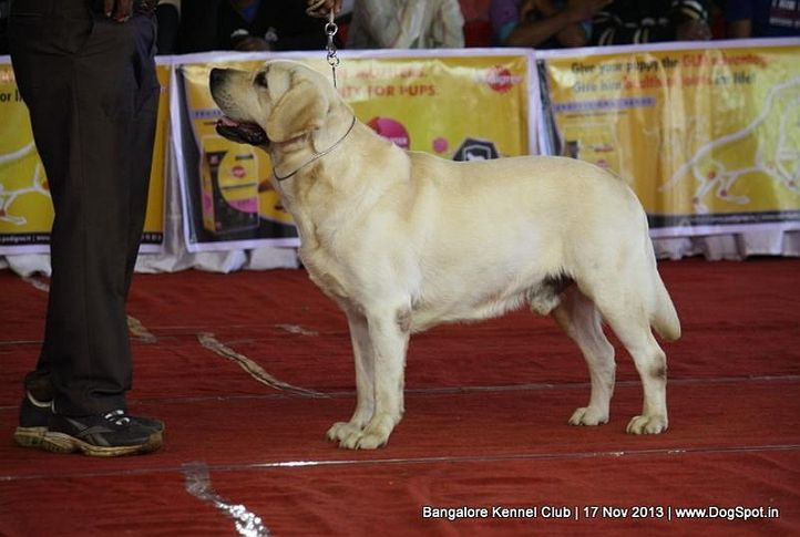 ex-167,labrador retriever,sw-102,, REETRONG PERFECT LAB ECLIPSE AT MOREEDOR, Labrador Retriever, DogSpot.in