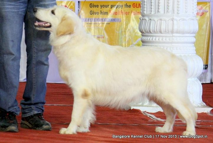 golden retriever,sw-102,, Bangalore Dog Show , DogSpot.in