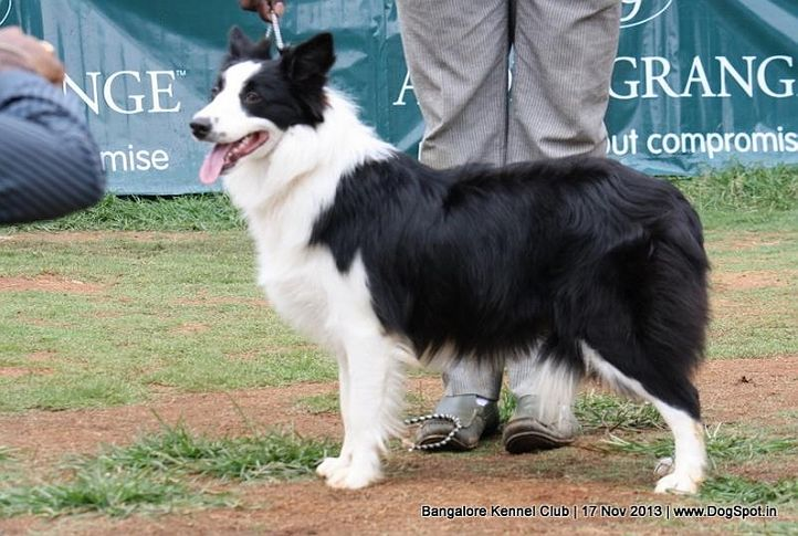 border collie,sw-102,, Bangalore Dog Show , DogSpot.in
