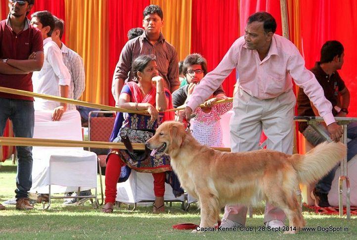 golden retriever,sw-128,, Capital Kennel Club - 2014 , DogSpot.in