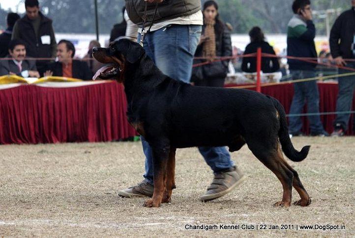 ex-243,rottweiler,sw-50,, JACK, Rottweiler, DogSpot.in
