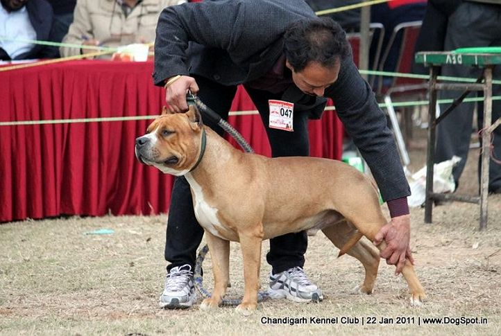 ex-47,sw-50,terrier,, BRUTUS, American Staffordshire Terrier, DogSpot.in