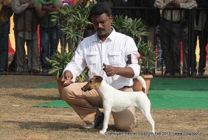 fox terrier,sw-75,, Chandigarh Dog Show 2013, DogSpot.in