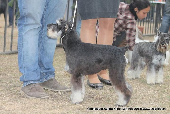 miniature schnauzer,sw-75,ex-64, MAGIC NAIR MAS TU VU OF VARIETY, Miniature Schnauzer, DogSpot.in