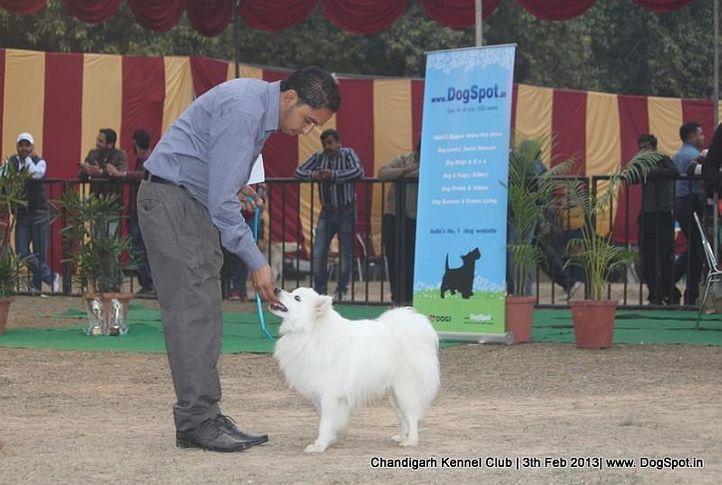 spitz,sw-75,, Chandigarh Dog Show 2013, DogSpot.in