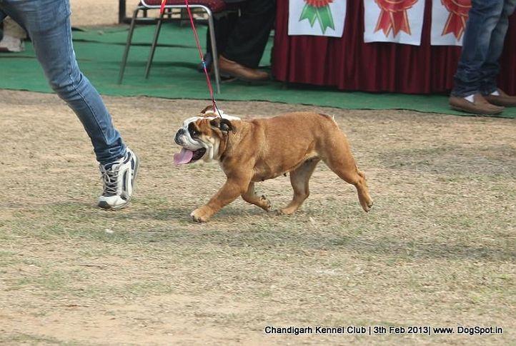 bull dog,sw-75,, Chandigarh Dog Show 2013, DogSpot.in