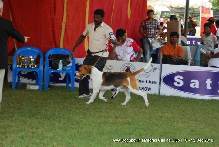 fox hound,, Chennai Dog Shows, DogSpot.in