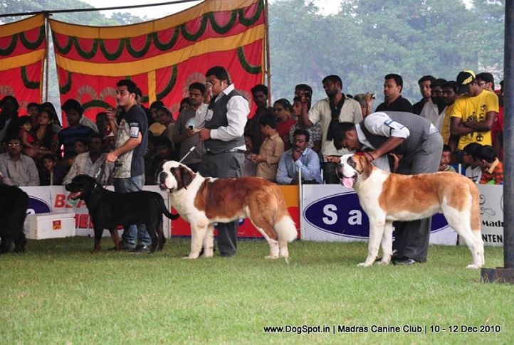 stbernard,, Chennai Dog Shows, DogSpot.in
