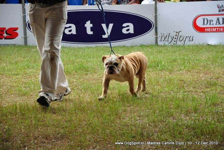 bulldog,, Chennai Dog Shows, DogSpot.in