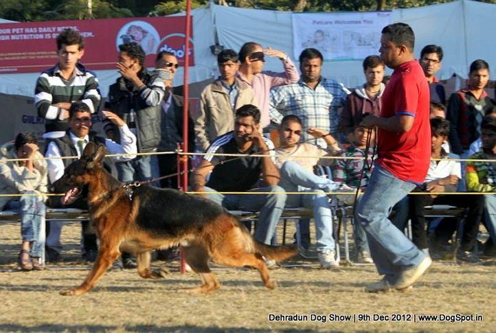 german shepherd dog,sw-73,, Dehradun Dog Show 2012, DogSpot.in