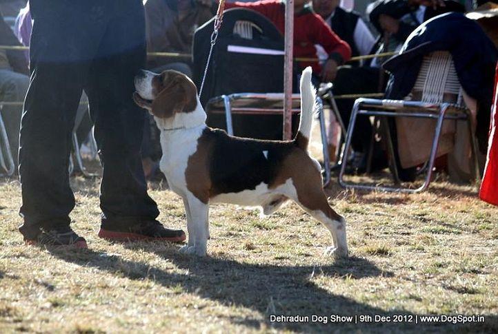 beagle,ex-52,sw-73,, AXI, Beagle, DogSpot.in