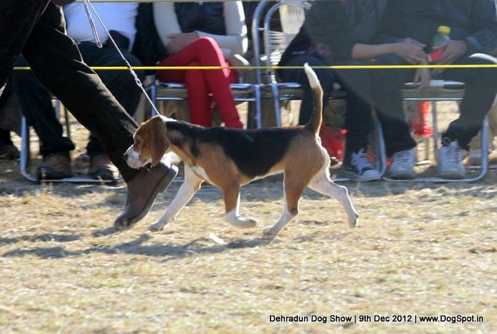 beagle,ex-55,sw-73,, SUPER GIRL OF RUBSON, Beagle, DogSpot.in