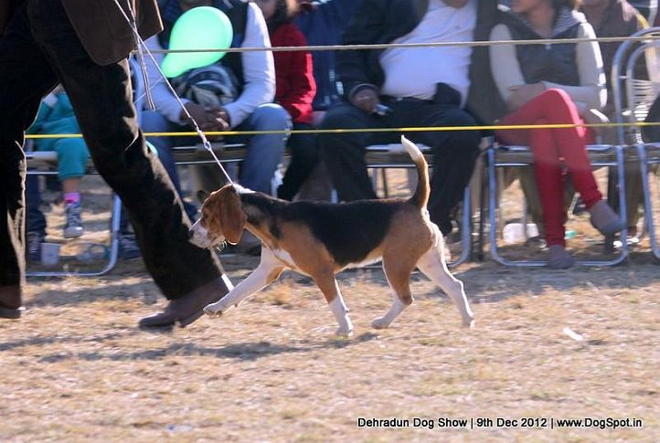 beagle,ex-55,sw-73,, SUPER GIRL OF RUBSON, Beagle, DogSpot.in